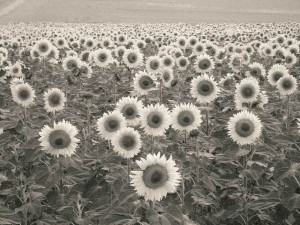 Sunflowers 2010