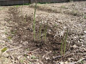 asparagus3 2010