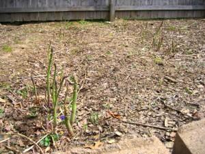 asparagus3 2011