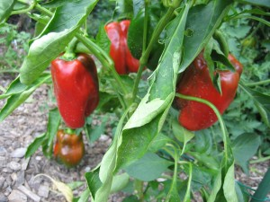 garden 3  August 23 '09