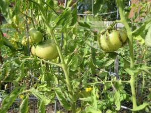 garden8 sept 15 2011