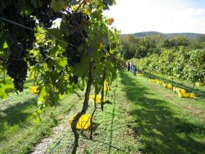grape harvest3