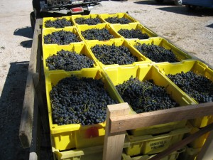 grape harvest6